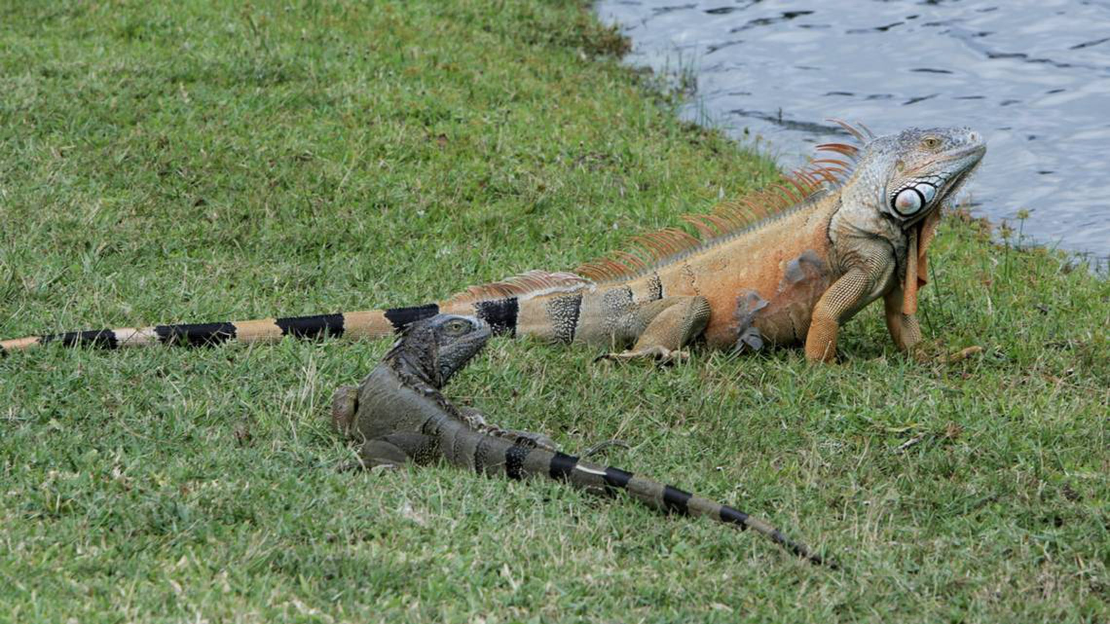 green-iguana-invasion-everglades.jpg